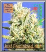 Original Sensible CBD Lemon Aid Feminized Marijuana Seeds